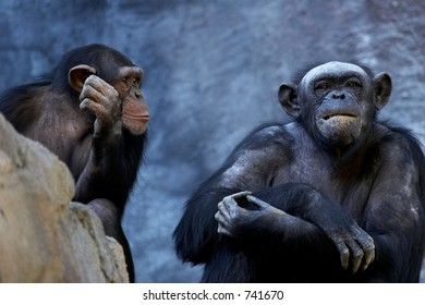 Two adult chimpanzees talking and thinking