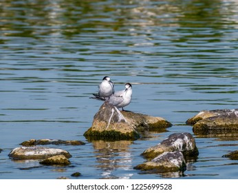 Two adult common terns, Sterna hirundo, in non-breeding plumage standing on rocks in water, Netherlands