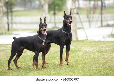 Two adult Doberman