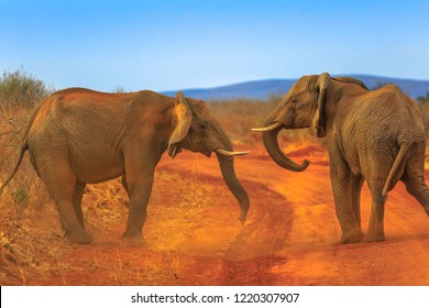 Two adult Elephants, Loxdonta Africana, facing each other, on red sand. Game drive safari in Madikwe Reserve, South Africa, near Botswana and Kalahari Desert. The African Elephant is part of Big Five.