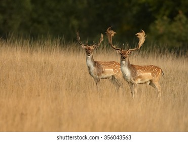 Two adult  Fallow Deers, Dama dama, males with large antlers in orange illuminated autumn grass, staring directly at camera. Dark green spruce background. Hunting season in  Czech highlands.