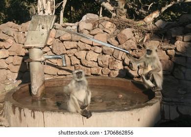 Two adult female Hanuman langurs sit on water pump in Rajasthan India