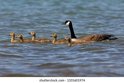 Two adult and five young Canada Geese (Branta canadensis) swimming in Grand Traverse Bay, Michigan, USA.