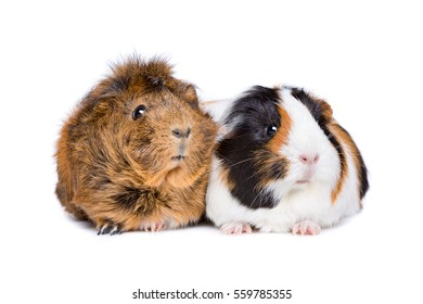 Two adult guinea pigs in front of a white background