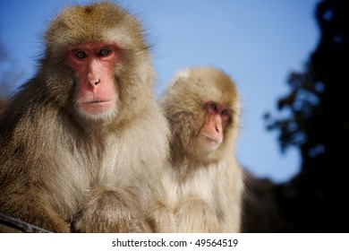 Two adult Japanese Macaque snow monkeys sitting together with blue sky and trees in background