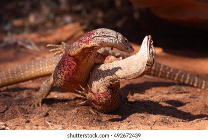Two adult male Gould's Sand Monitors do battle over territorial rights.
