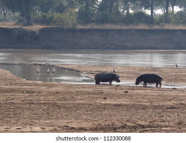 Two adult male hippo's square off in a territorial display, South Luangwa National Park, Zambia. This is a typical scene taken on one of the parks walking safari's.