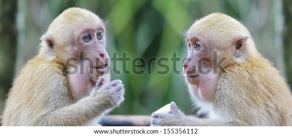 Two adult monkey talking and thinking in discussion.