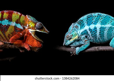 Two adult panther chameleons (Furcifer pardalis) - a blue one from the island of Nosy Faly and a red and yellow one from the area around Ambilobe, Madagscar. Both showing defensive behavior