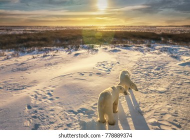 Two adult polar bears together in their natural Arctic snowy tundra habitat, as the sunrise casts golden light on the wide landscape scene. Churchill, Canada.