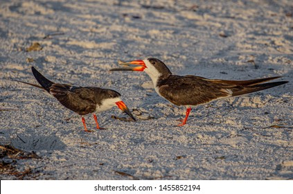 Two Adult Skimmers Telling Silly Human Jokes, Indian Rocks Beach, Florida