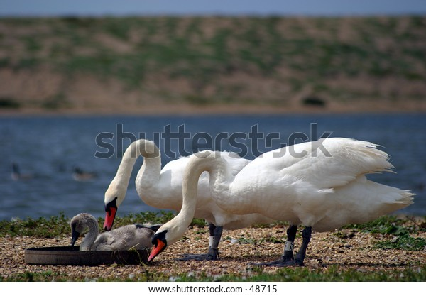 Two adult swans and a Cygnet feeding. Taken at Abbotsbury Swannery, Dorset, England.