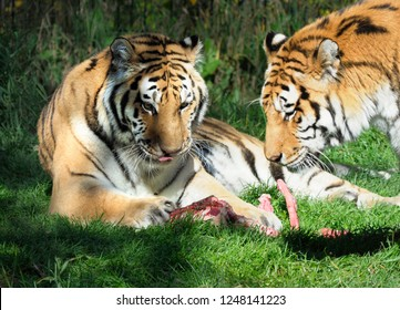 Two Adult Tigers Licking the Bones of What's Left of Their Dinner