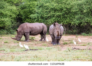 Two adult white rhino's standing and grazing in the bush with some white egrets around them.