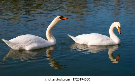 Two adult white swans sail the river.