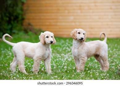 two afghan hound puppies walking outdoors