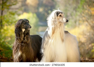 two afghan hounds portrait in autumn