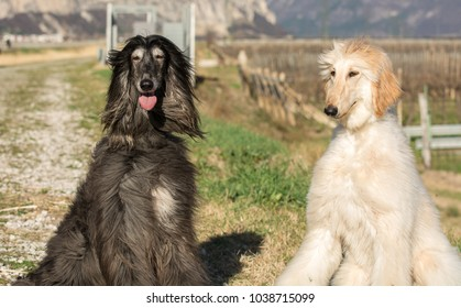 Two Afghan hounds. Portrait.The Afghan Hound is a hound that is distinguished by its thick, fine, silky coat .The breed was selectively bred for its unique features in the mountains of Afghanistan