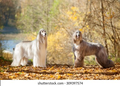 two afghan hounds posing on autumn park