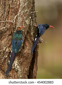 Two african birds, Green Wood-hoopoe, Phoeniculus purpureus, adult and juvenile, next to nest hole. Vertical photo, South Africa.