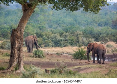 Two African bush elephants with long tusk in Kruger National park, South Africa ; Specie Loxodonta africana family of Elephantidae