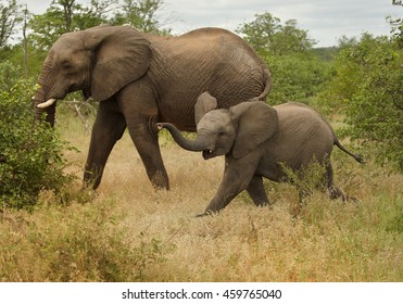 Two African Bush Elephants, Loxodonta africana, mother with calf, running in bush.South Africa, Timbavati game reserve