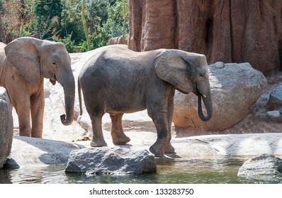 Two African Bush Elephants walking