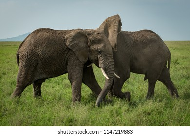 Two African elephants fighting on grassy meadow