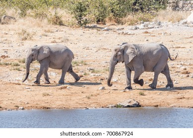 Two african elphants, Loxodonta africana, walking at a waterhole in Northern Namibia