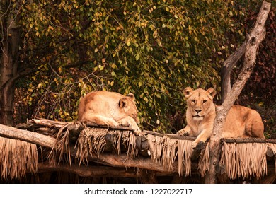 Two African female lions (Panthera leo) resting on a wooden surface in the zoo Zlin-Lesna, Czech Republic.