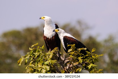 Two African fish eagles perched at the top of a tree