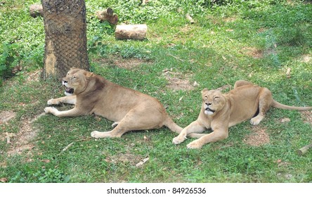 Two African lioness zoo in Kaohsiung