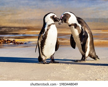 Two African Penguins showing affection for one another. Boulders Beach, Simon's Town, South Africa.