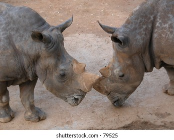 Two african rhinos  touching each other with their noses