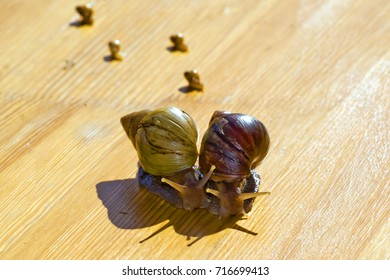 two African snails