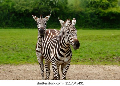 Two African striped coats zebras. Photography of nature and wildlife.