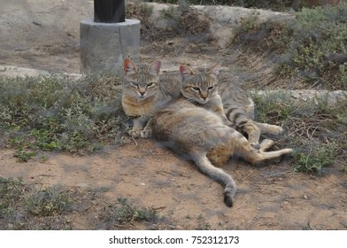 Two African Wild Cats befriended