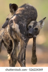 two African Wild Dogs (lycaon pictus) interacting playfully at sunrise in Zimanga Private Game Reserve
