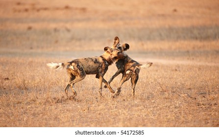 Two African Wild Dogs (Lycaon pictus), highly endangered species of Africa, playing in savannah