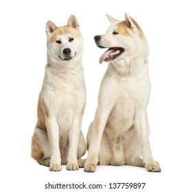 Two Akita Inus sitting and interacting, 2 years old, isolated on white
