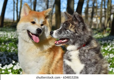 Two Akitas Inu enjoy spring