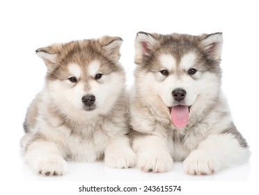 two alaskan malamute puppies. isolated on white background