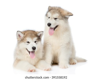 Two alaskan malamute puppies lying in front view. isolated on white background