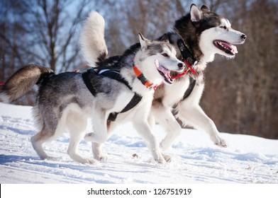two alaskan malamutes sled dog race