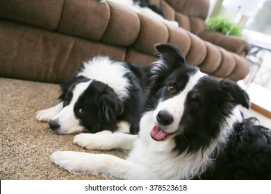 Two alert Border Collies laying together looking up