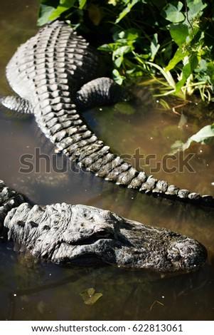 Two Alligators Gator Land Florida Stock Photo (Edit Now) 622813061