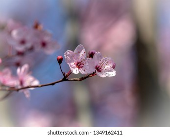 Two almond blossom separated from the background