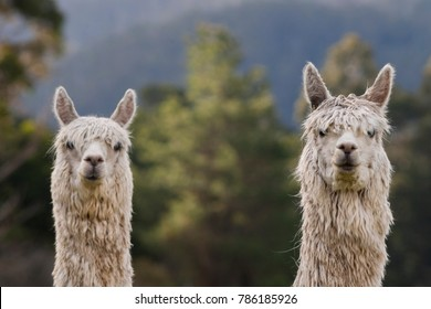 Two Alpacas looking at camera