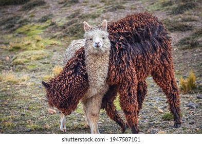 Two alpacas, one looking at camera, in middle of mountain valley of Colca region, Peru. Southamerican landscape and fauna