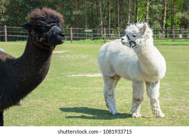 Two alpacas standing on a green pasture - white alpaca and head of brown one